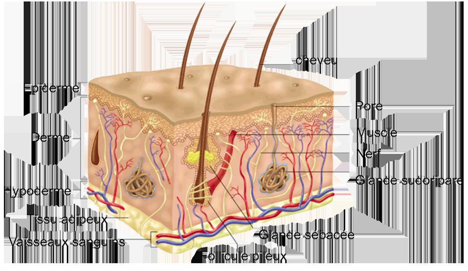 Schéma peau
